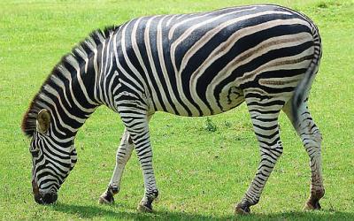 Formula Forensics No. 005 – Zebras and Checker-Boards